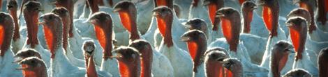 TMG_turkeys