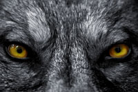 TMG_wolf