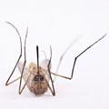 TMG_mosquito