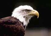 TMG_eagle