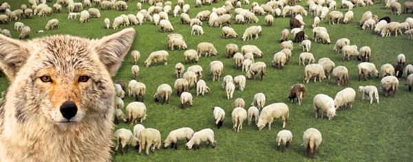 TMG_gryote+sheep2