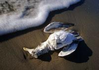 TMG_dead_seagull