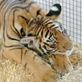 TMG_sleeping_tiger