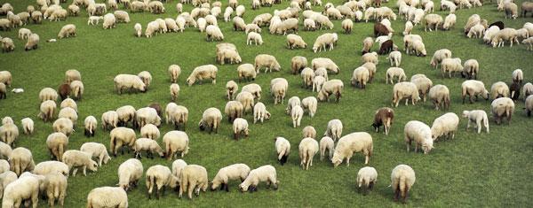 TMG_gryote+sheep_1