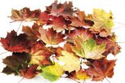 TMG_leaves