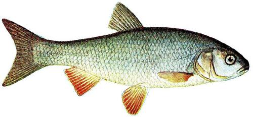 TMG_fish_500